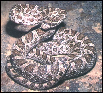 A Corn Snake por não ter veneno e atingir um tamanho considerado ideal, é vendida como animal de estimação. Porém no Brasil é ilegal já que não faz parte da nossa fauna. Para ter um réptil é necessária uma autorização do ibama.